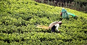 Workers in a tea plantation