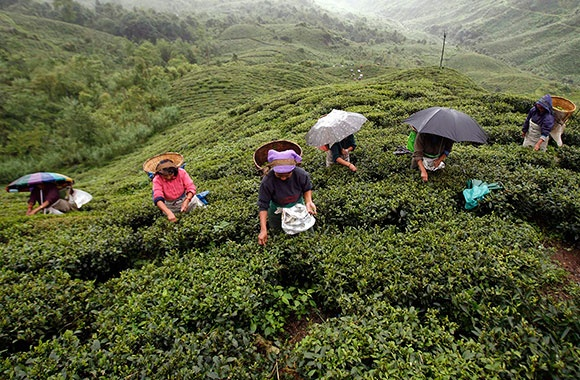 the darjeeling distinction labor and justice on fairtrade tea plantations in india