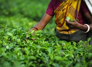 A women picking tea leaves