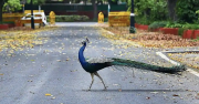 A peacock seen at Sadarjung lane during the lockdown in New Delhi on April 18, 2020.